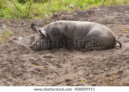 fat dirty pig in mud - stock photo