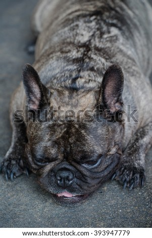 Fat Dog French Bulldog  tiger color
