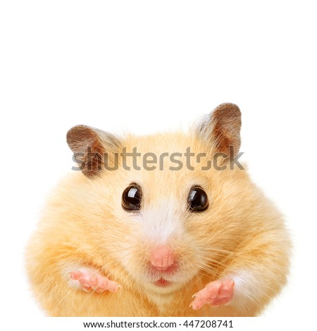 Fat funny hamster isolated on white background - stock photo