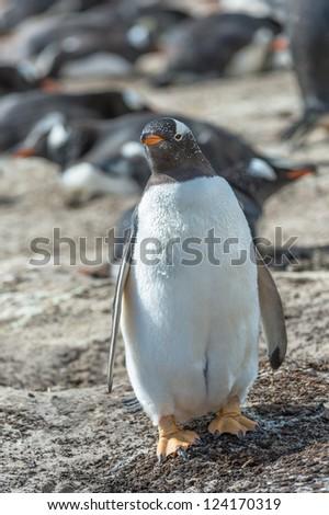 Fat Gentoo penguin.  Falkland Islands, South Atlantic Ocean, British Overseas Territory - stock photo