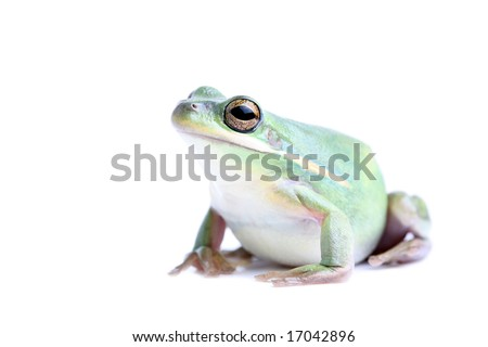 fat green tree frog - closeup, isolated on white - stock photo