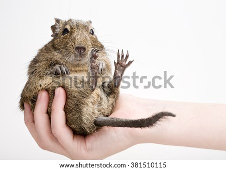 fat hamster in human hand isolated on white - stock photo