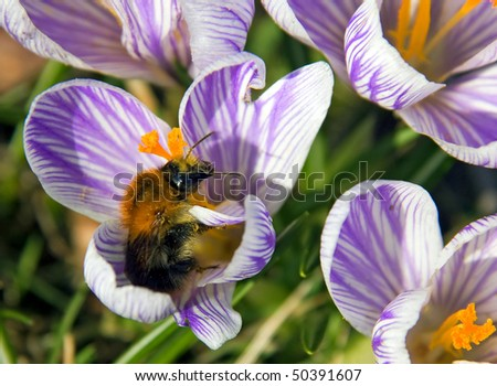 Fat insect searches  for nectar in a blue crocus blooming in spring - stock photo