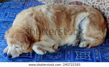 Fat labrador retriever on the floor - stock photo