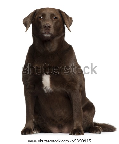 Fat Labrador Retriever, 7 years old, sitting in front of white background - stock photo