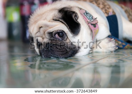 fat lovely pug dog laying on the floor sad face - stock photo