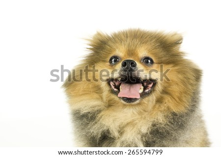 fat Pomeranian isolate on white background  - stock photo