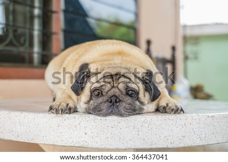 Fat pug dog laying on the table at home outdoor.