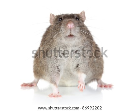 Fat Rat sits on a white background - stock photo