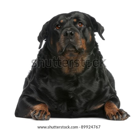 Fat Rottweiler, 3 years old, lying in front of white background - stock photo