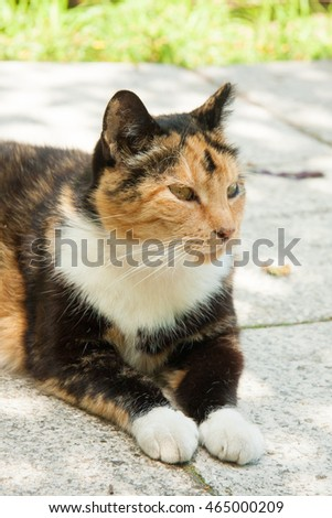Fat three-colored cat with damaged ear