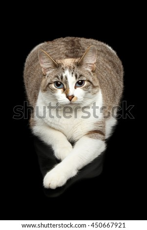 Fat White Cat with Huge Blue eyes, paws in front of him, Lying and Curious Looking in Camera, Isolated Black Background, Top view - stock photo