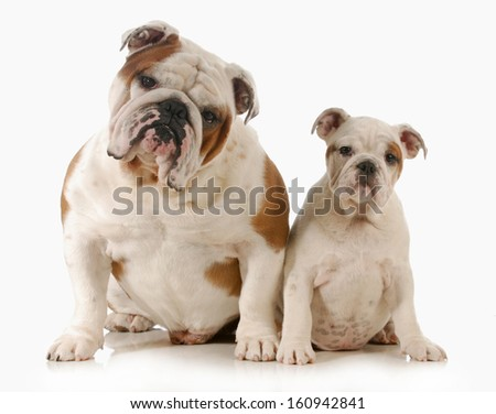 father and daughter dog - english bulldog adult and puppy looking at viewer isolated on white background  - stock photo