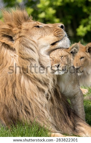 Father and Daughter, Lion and lioness cub together - stock photo