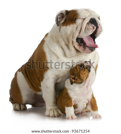 father and son dogs - english bulldog puppy looking up at adult yawing on white background - stock photo