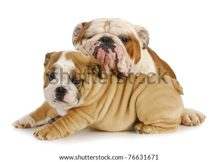 father and son dogs - two english bulldogs cuddling on white background