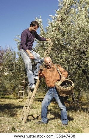 father and son during olives harvest - stock photo