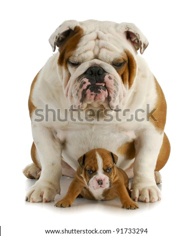 father and son - english bulldog father and four week old son sitting on white background - stock photo