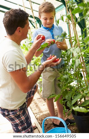 Father And Son Harvesting Home Grown Tomatoes In Greenhouse - stock photo