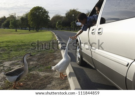 Father and son peeping out of car window to give food to the flock of white geese - stock photo