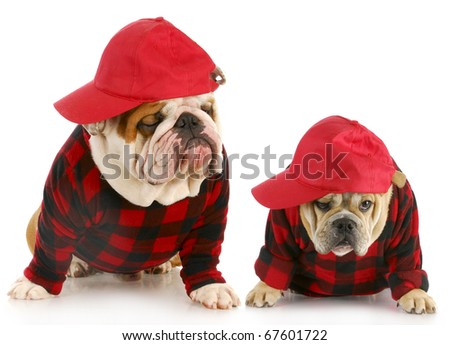 father and son - two english bulldogs dressed up in matching plaid coats and hats
