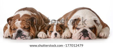father son and grandson dogs - english bulldogs with three generations laying down side by side isolated on white background - father two years, son 10 weeks, grandfather 4 years - stock photo