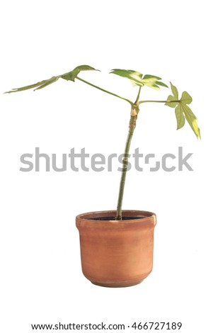 Fatsia in brown clay pot isolated on white background