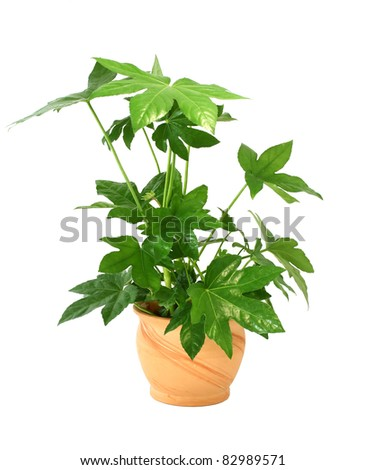 Fatsia japonica in pot isolated on white background