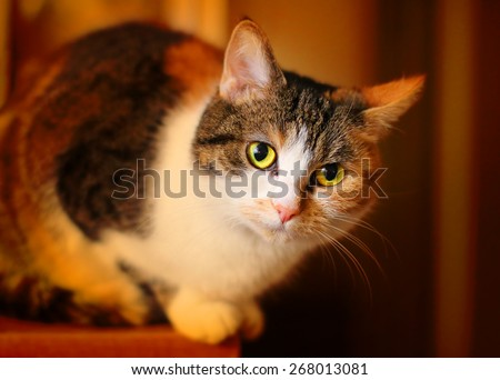 Fatty spotted cat resting. Shallow DOF and warm filtered look. - stock photo