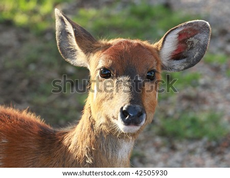fawn - stock photo