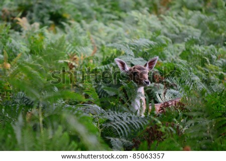 Fawn amongst bracken - stock photo