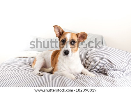 Fawn and White Cardigan Corgi Mix on Bed with Striped Sheets - stock photo