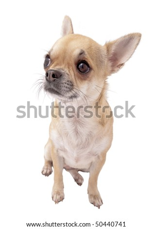 fawn and white chihuahua portrait isolated