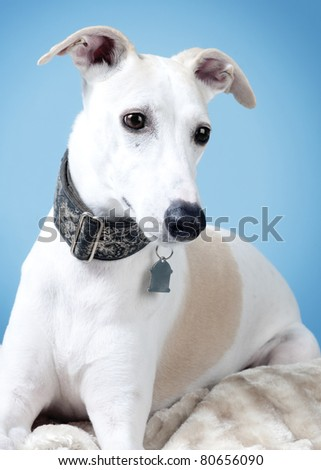 Fawn and white Whippet lying on a fur blanket
