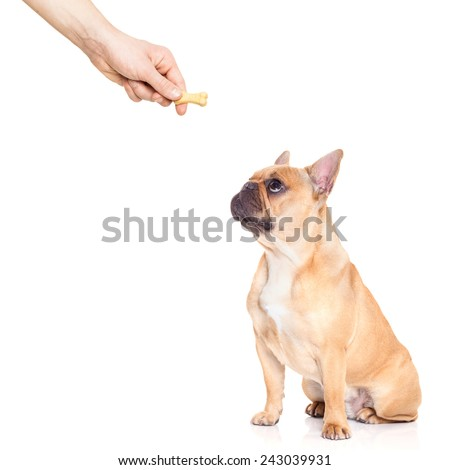fawn bulldog dog getting a cookie as a treat for good behavior,isolated on white background - stock photo