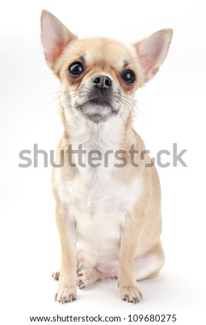 fawn Chihuahua dog sitting on white background looking at camera - stock photo