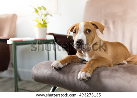 Fawn Colored Pit Bull Mix Puppy on Tan Arm Chair