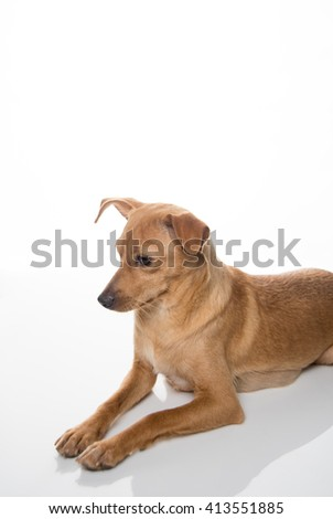 Fawn Colored Terrier Mix Dog Relaxing on White Background