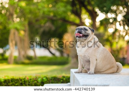 Fawn fat pug dog with blurry sunlight background.