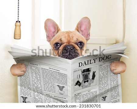 fawn french bulldog dog sitting on toilet and reading magazine - stock photo