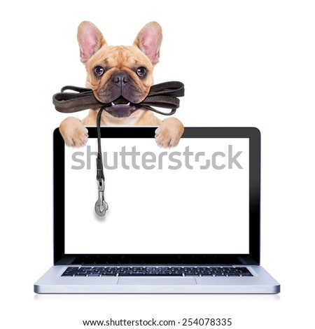fawn french bulldog with leather leash ready for a walk with owner,behind a laptop pc computer  screen ,  isolated on  white isolated background  - stock photo