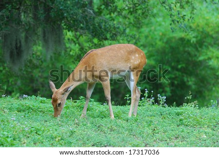 Fawn Grazing - stock photo