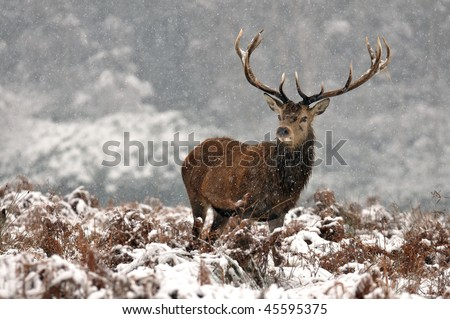 fawn  in nature, winter day