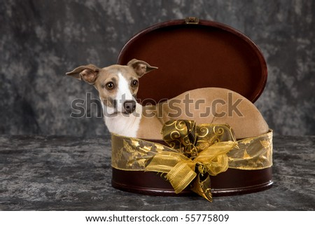 Fawn Italian Greyhound lying inside round gift box - stock photo