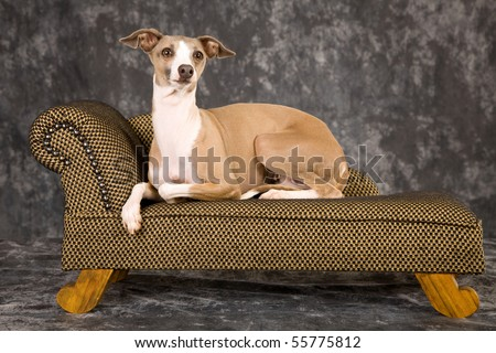 Fawn Italian Greyhound lying on miniature couch sofa chaise - stock photo