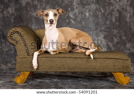 Fawn Italian Greyhound on miniature couch on back background - stock photo