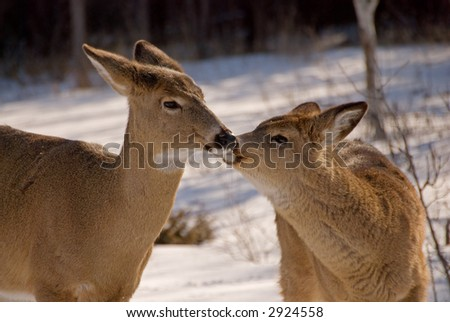 fawn kissing mother doe - stock photo