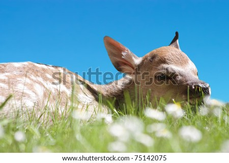 Fawn laying in a daisy field close up - stock photo