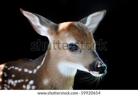 Fawn on black background