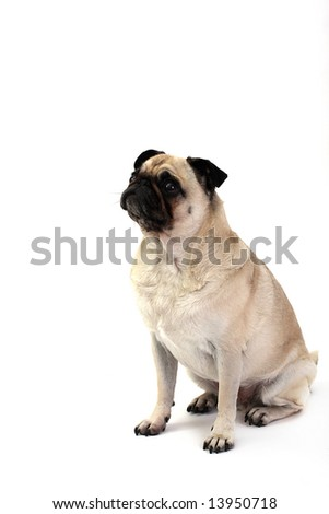 Fawn Pug begging for food. - stock photo